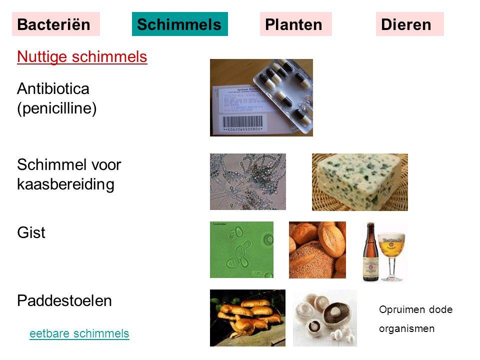 Nuttige schimmels Antibiotica (penicilline) Schimmel voor kaasbereiding Gist Paddestoelen BacteriënSchimmelsPlantenDieren Opruimen dode organismen eet