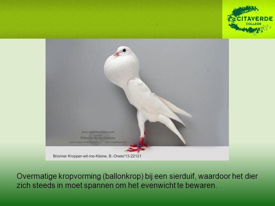 Overmatige kropvorming (ballonkrop) bij een sierduif, waardoor het dier zich steeds in moet spannen om het evenwicht te bewaren.