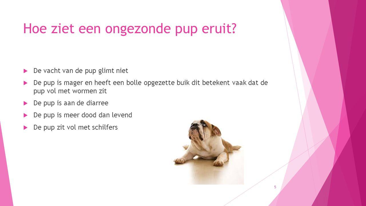 Hoe ziet een ongezonde pup eruit?  De vacht van de pup glimt niet  De pup is mager en heeft een bolle opgezette buik dit betekent vaak dat de pup vo