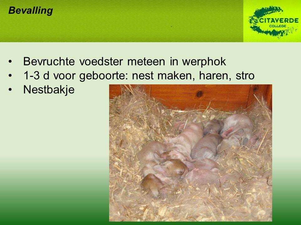 Bevalling Bevruchte voedster meteen in werphok 1-3 d voor geboorte: nest maken, haren, stro Nestbakje