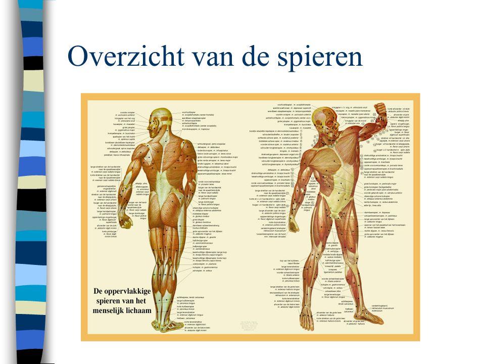 Overzicht van de spieren