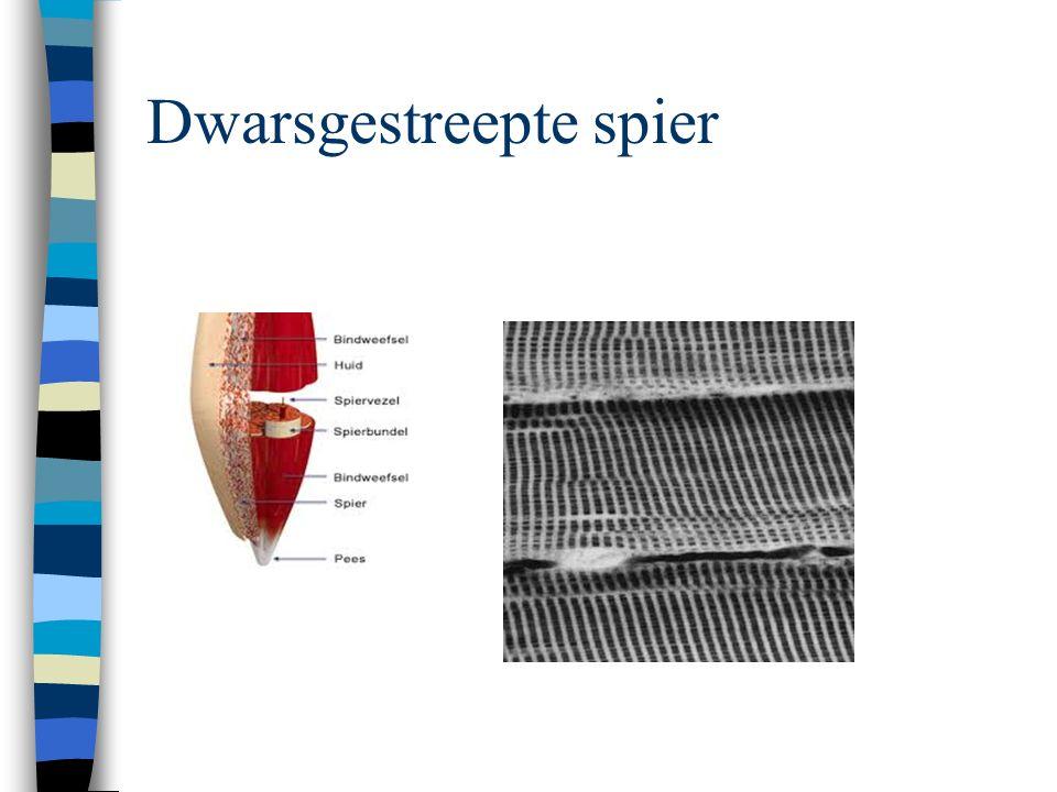 Opbouw van de dwarsgestreepte spier Spiervezel Spierbundel –Omgeven door bindweefsel Spier –Ook omgeven door een bindweefselvlies –De fascie –De vezels van de fascie komen uit in de pees,die de spier verbindt met het bot