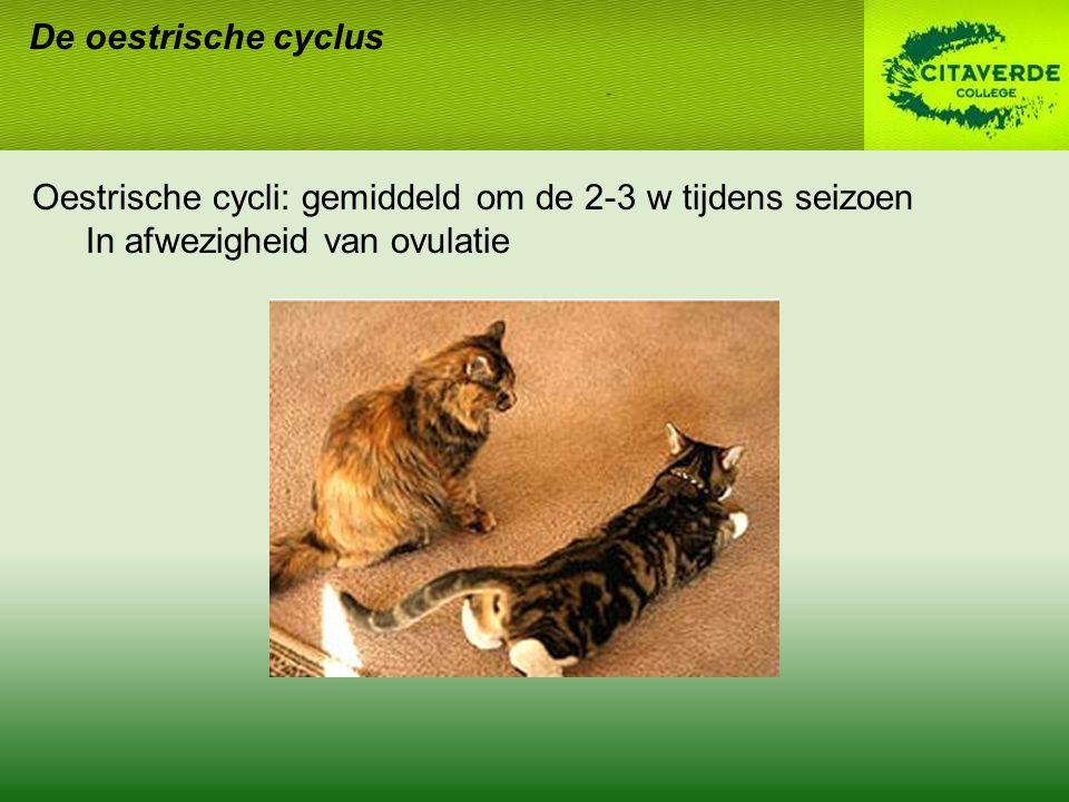 De oestrische cyclus Oestrische cycli: gemiddeld om de 2-3 w tijdens seizoen In afwezigheid van ovulatie
