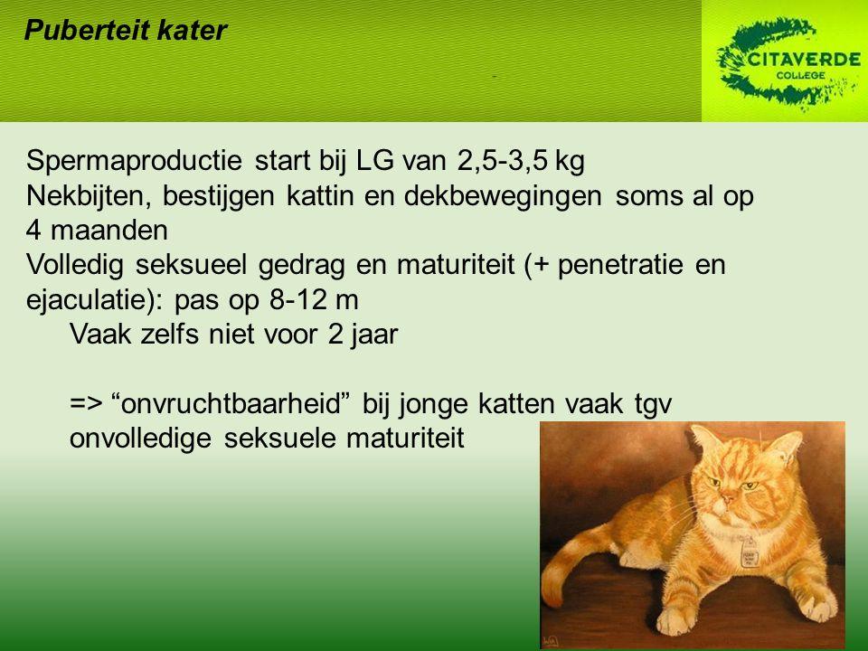 Puberteit kater Spermaproductie start bij LG van 2,5-3,5 kg Nekbijten, bestijgen kattin en dekbewegingen soms al op 4 maanden Volledig seksueel gedrag en maturiteit (+ penetratie en ejaculatie): pas op 8-12 m Vaak zelfs niet voor 2 jaar => onvruchtbaarheid bij jonge katten vaak tgv onvolledige seksuele maturiteit