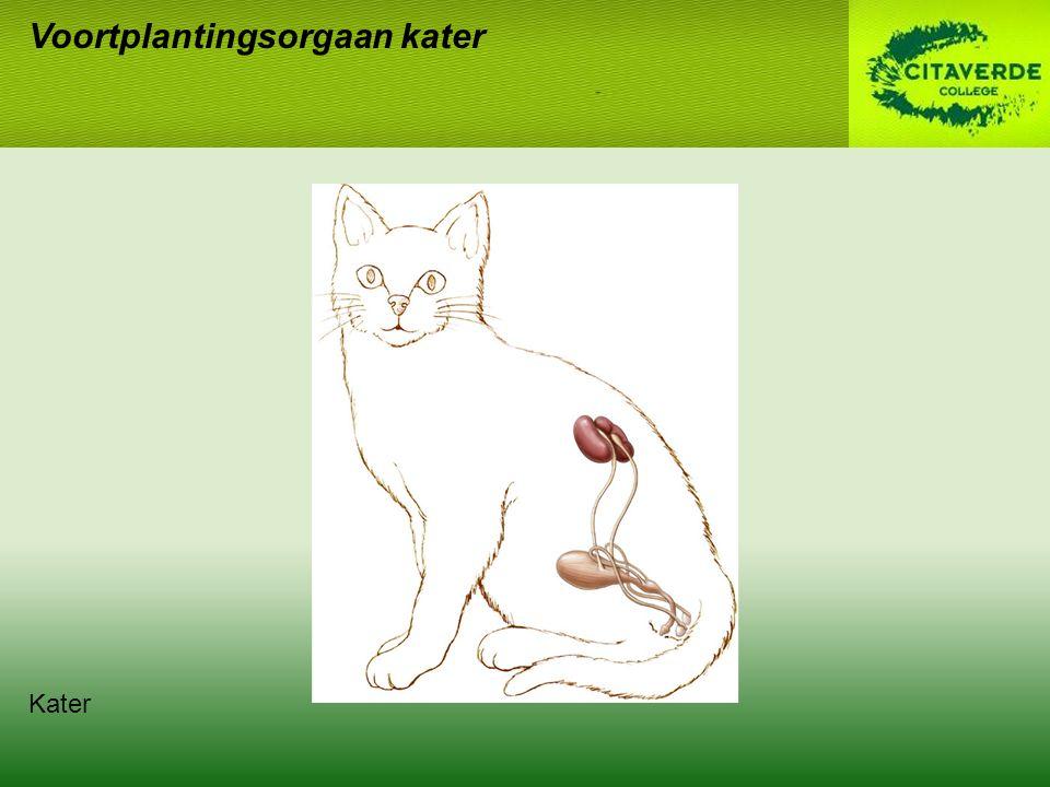 Voortplantingsorgaan kater Kater