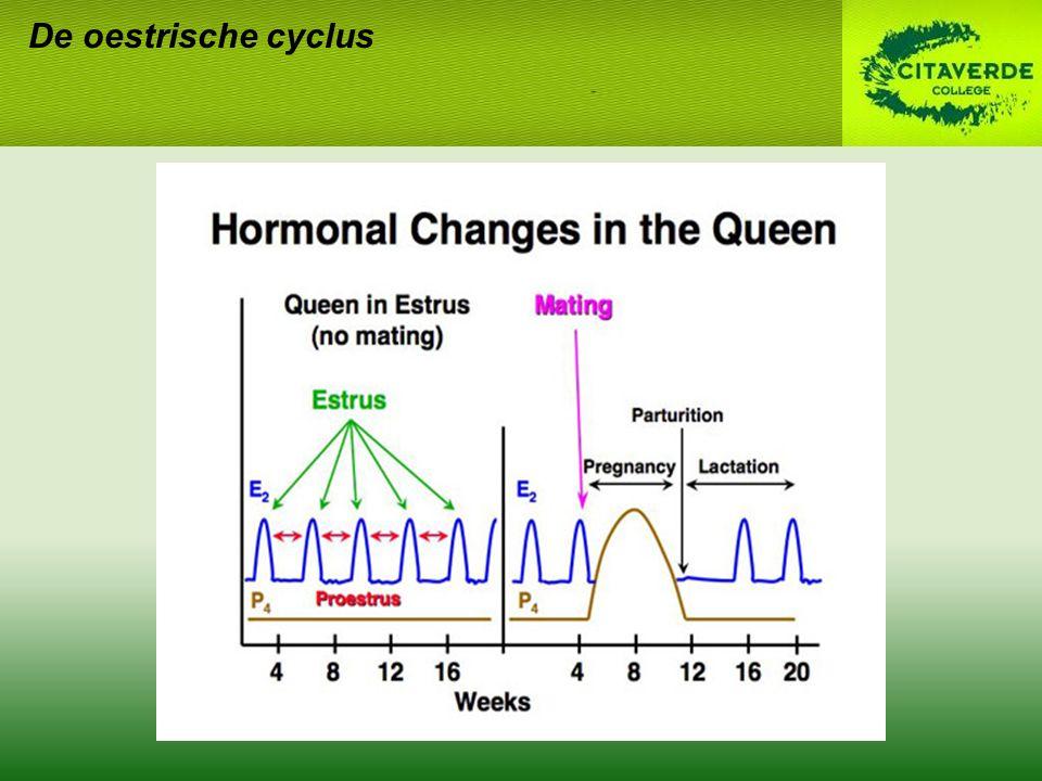 Drachtdiagnose RX –Vanaf d 38-40 D 17-21: baarmoedervergroting –Aantal kittens, grootte tov bekkeningang, vitaliteit