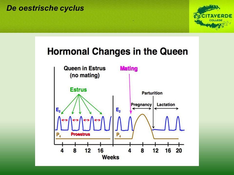 De oestrische cyclus Progesteron Pro-oestrus en oestrus: laag Hoog in metoestrus Oestrogeen Basaal in pro-, inter- en metoestrus Piek in oestrus
