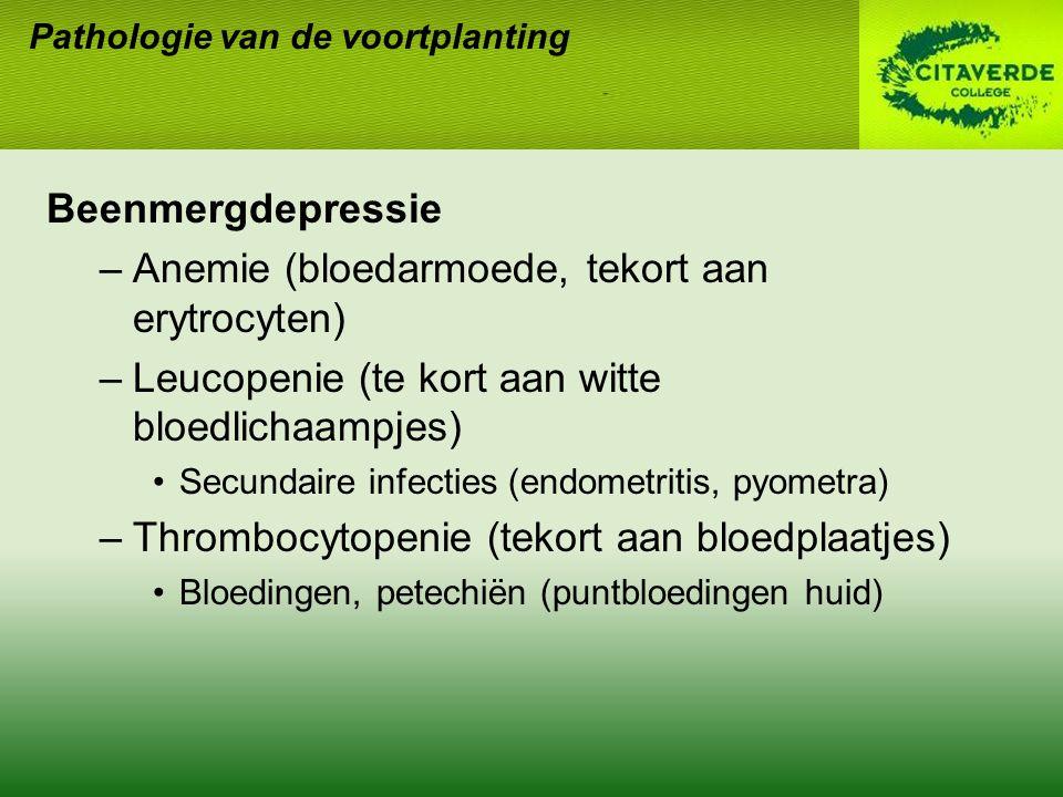 Beenmergdepressie –Anemie (bloedarmoede, tekort aan erytrocyten) –Leucopenie (te kort aan witte bloedlichaampjes) Secundaire infecties (endometritis, pyometra) –Thrombocytopenie (tekort aan bloedplaatjes) Bloedingen, petechiën (puntbloedingen huid) Pathologie van de voortplanting