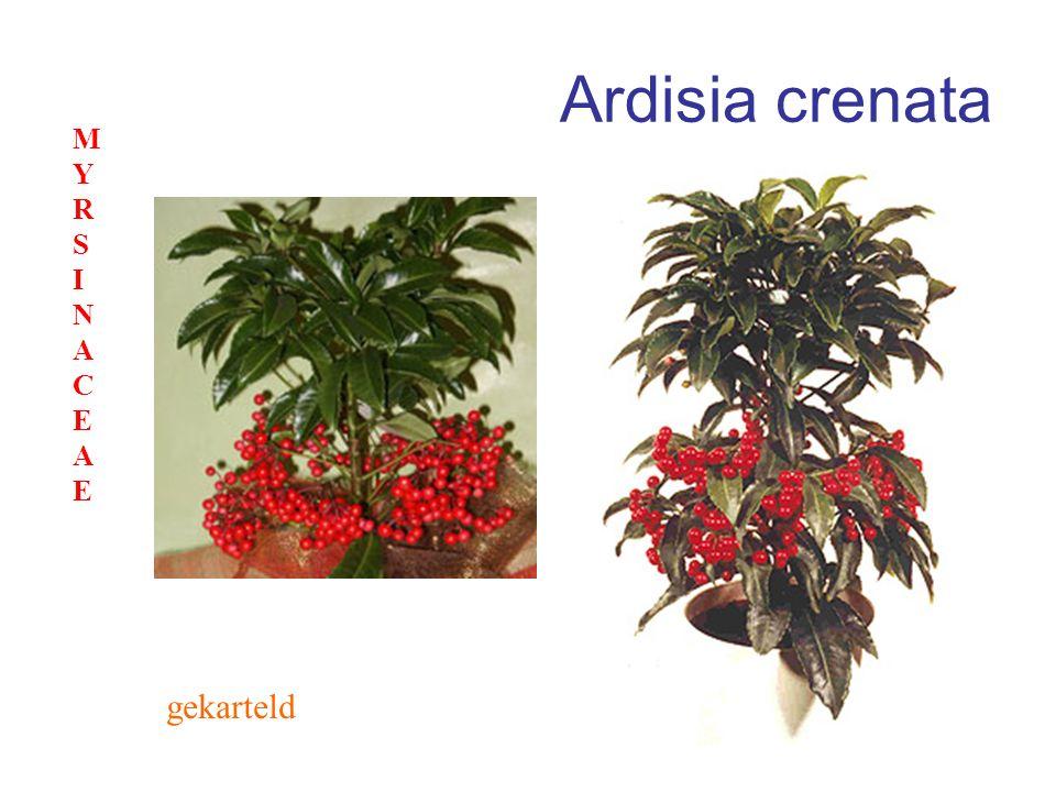 Ardisia crenata gekarteld MYRSINACEAEMYRSINACEAE