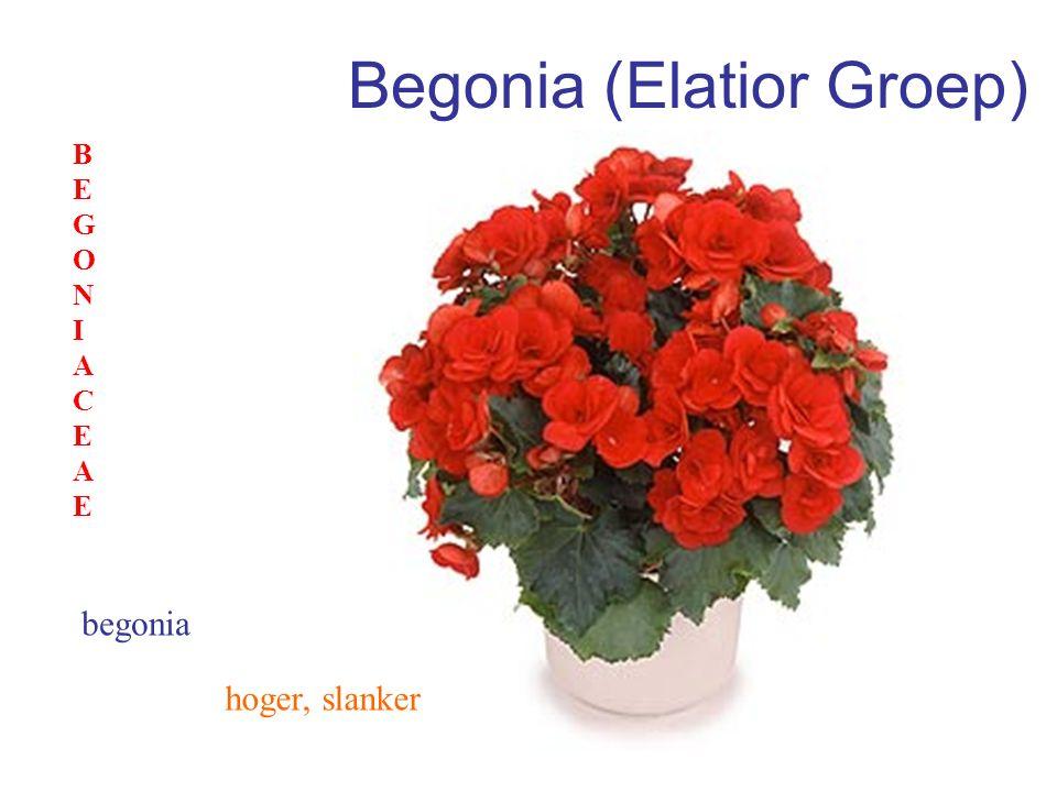 Begonia (Elatior Groep) hoger, slanker begonia BEGONIACEAEBEGONIACEAE