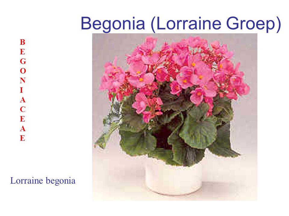 Begonia (Lorraine Groep) Lorraine begonia BEGONIACEAEBEGONIACEAE