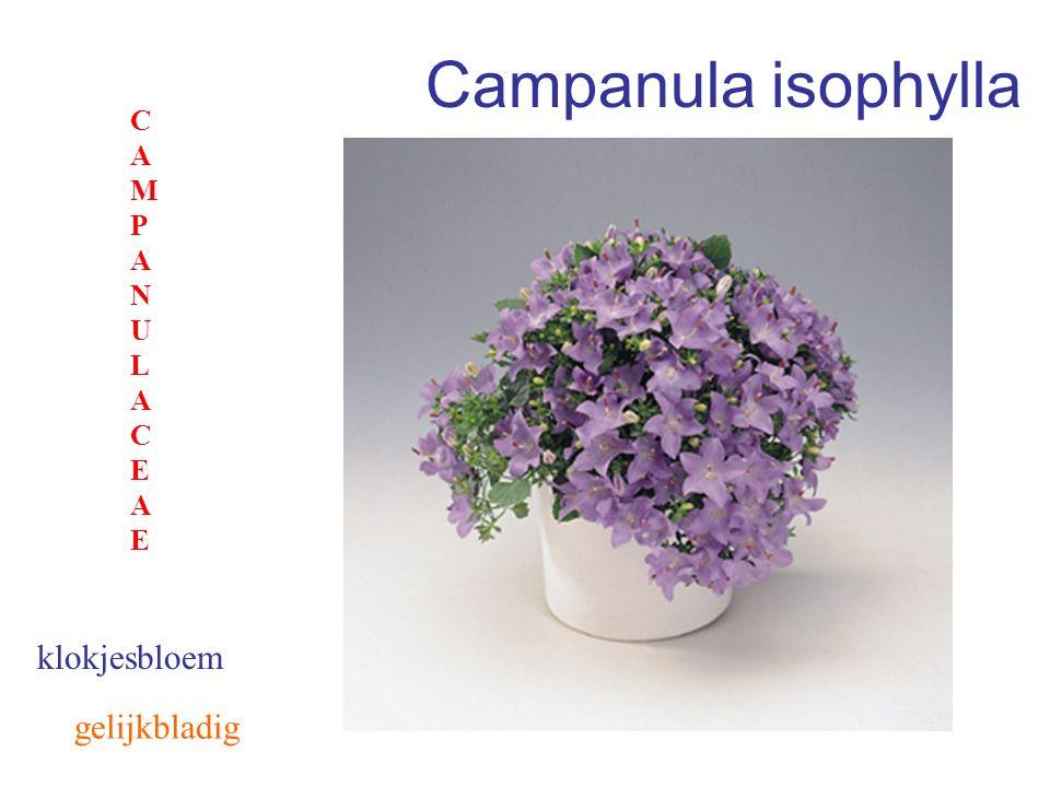Campanula isophylla klokjesbloem CAMPANULACEAECAMPANULACEAE gelijkbladig