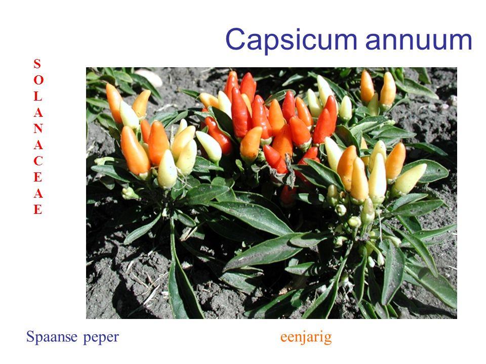 Capsicum annuum eenjarigSpaanse peper SOLANACEAESOLANACEAE