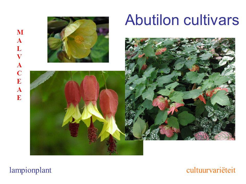 Abutilon cultivars lampionplant MALVACEAEMALVACEAE cultuurvariëteit