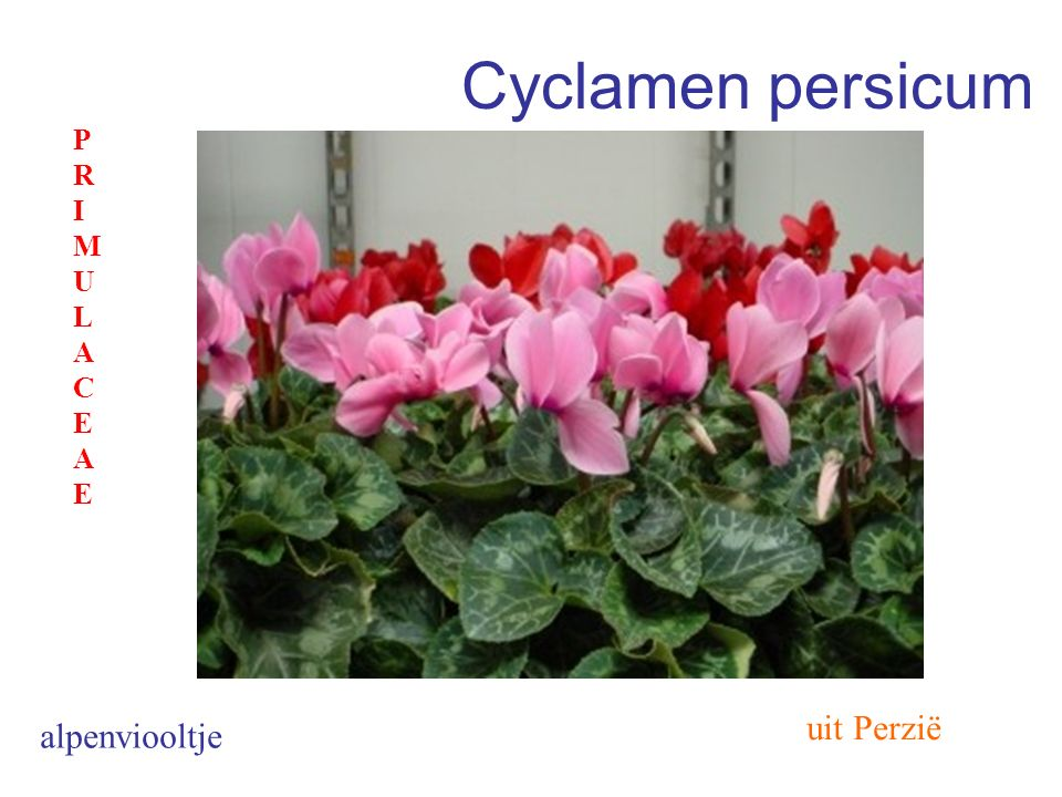 Cyclamen persicum uit Perzië alpenviooltje PRIMULACEAEPRIMULACEAE