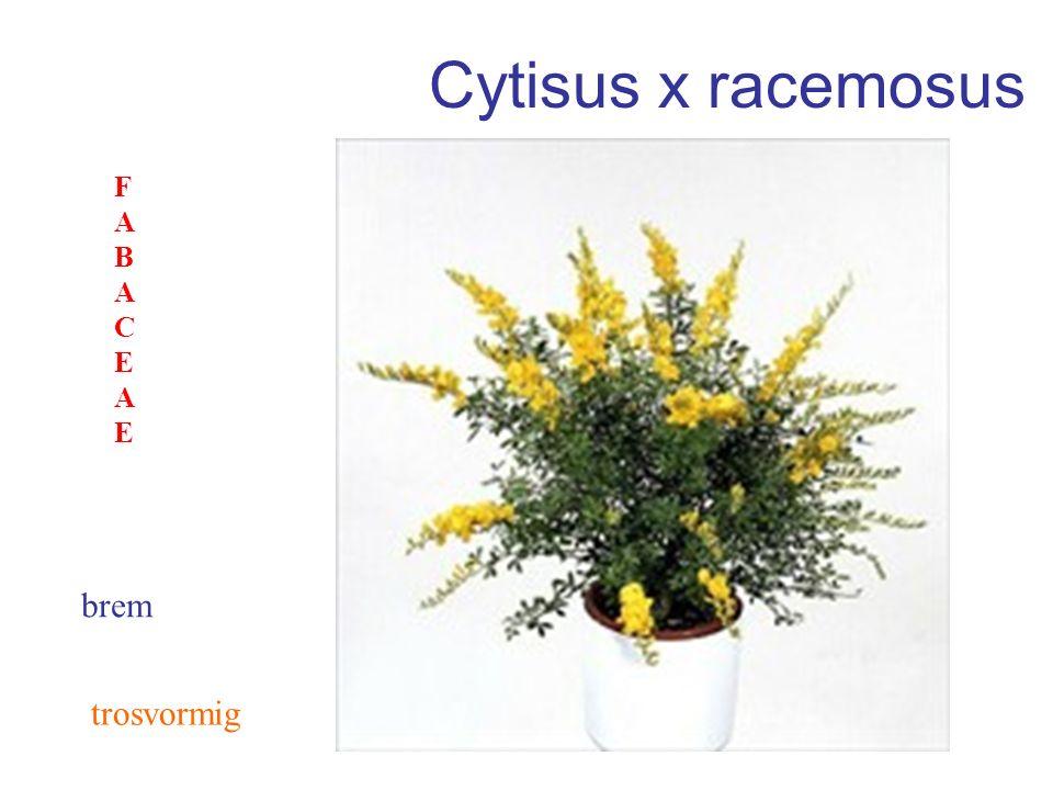 Cytisus x racemosus brem FABACEAEFABACEAE trosvormig