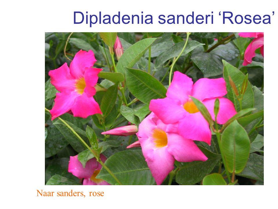 Dipladenia sanderi 'Rosea' Naar sanders, rose