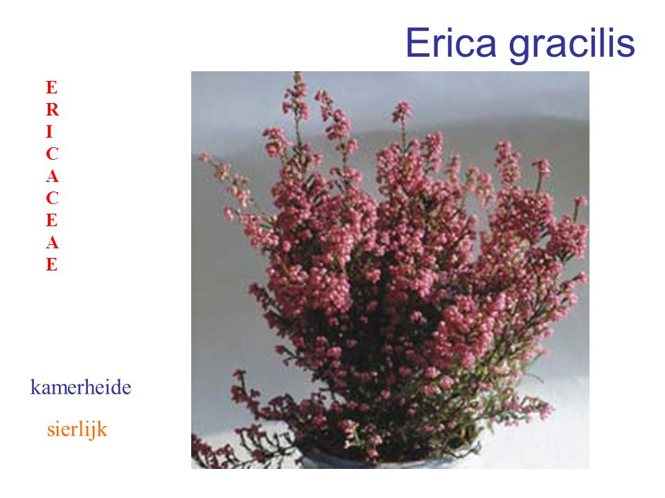 Erica gracilis sierlijk kamerheide ERICACEAEERICACEAE
