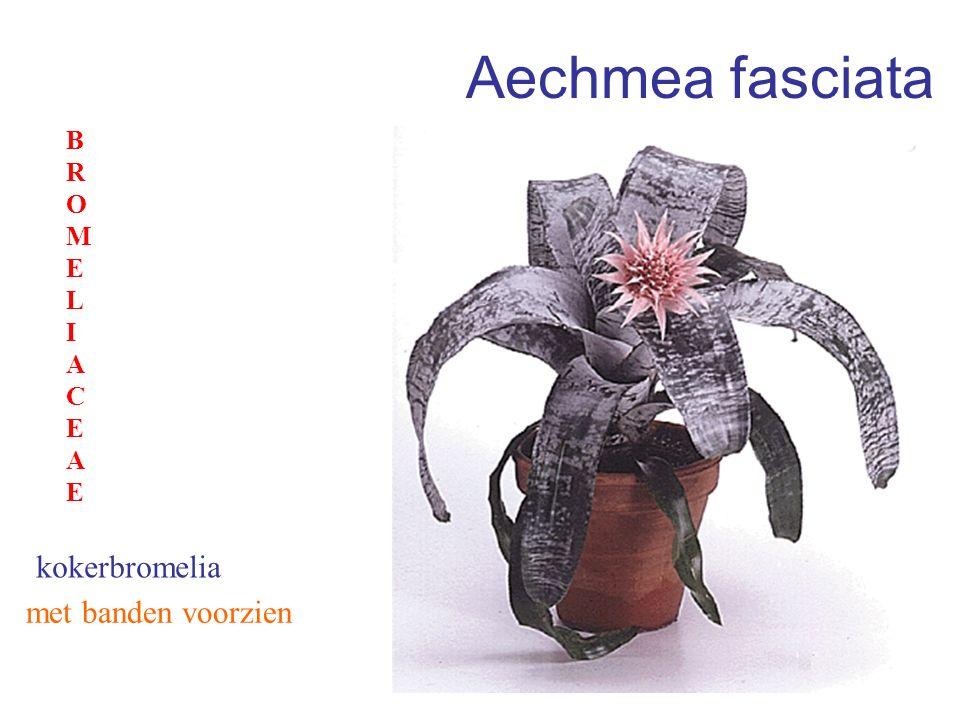 Aechmea fasciata met banden voorzien kokerbromelia BROMELIACEAEBROMELIACEAE