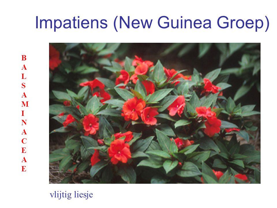 Impatiens (New Guinea Groep) vlijtig liesje BALSAMINACEAEBALSAMINACEAE