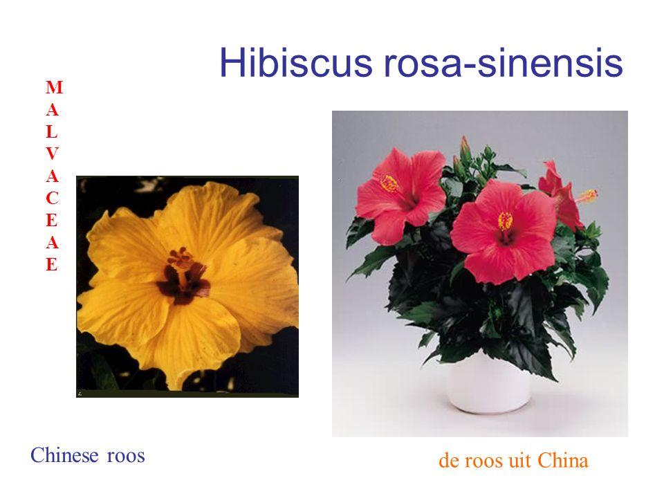 Hibiscus rosa-sinensis de roos uit China Chinese roos MALVACEAEMALVACEAE