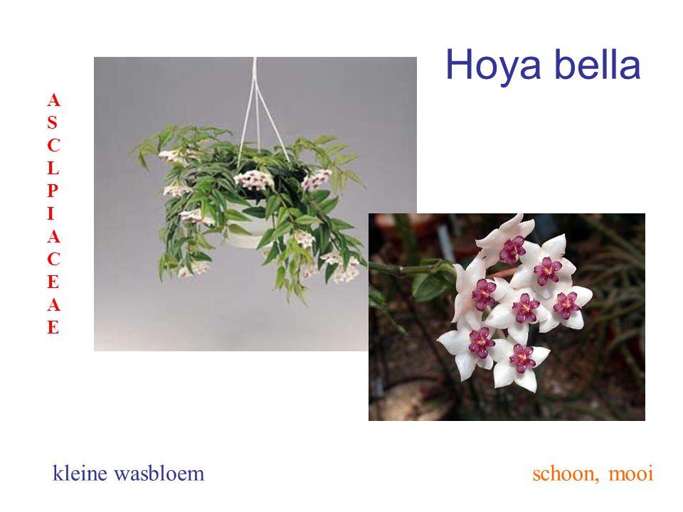 Hoya bella schoon, mooikleine wasbloem ASCLPIACEAEASCLPIACEAE