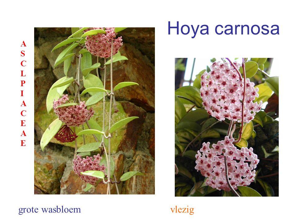 Hoya carnosa vleziggrote wasbloem ASCLPIACEAEASCLPIACEAE