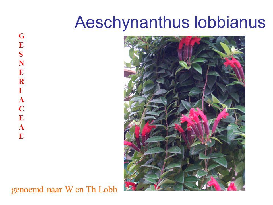 Aphelandra squarrosa rondom geschubd zebraplant ACANTACEAEACANTACEAE