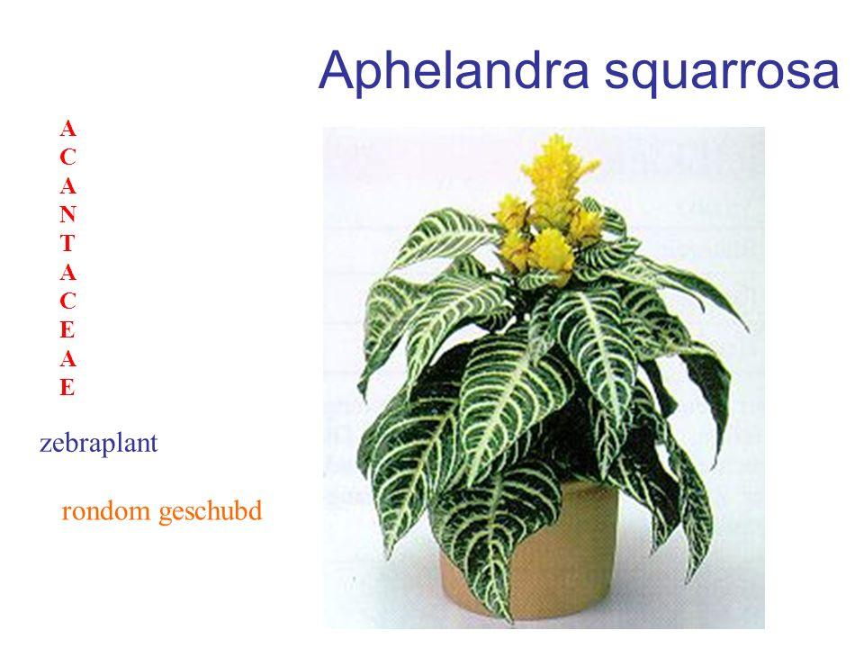 Euphorbia milii genoemd naar MiliusChristusdoorn EUPHORBIACEAEEUPHORBIACEAE