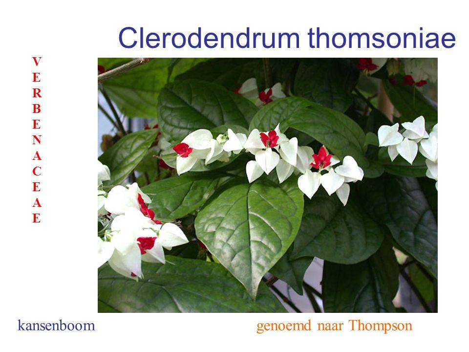 Clerodendrum thomsoniae genoemd naar Thompson VERBENACEAEVERBENACEAE kansenboom