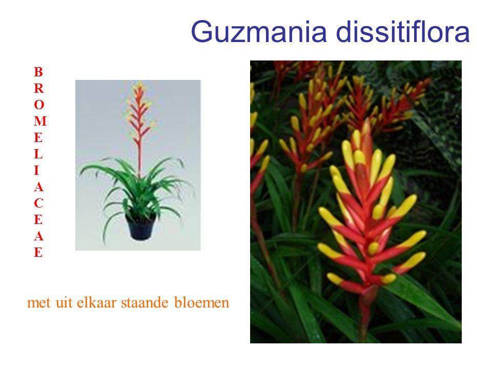 Guzmania dissitiflora met uit elkaar staande bloemen BROMELIACEAEBROMELIACEAE