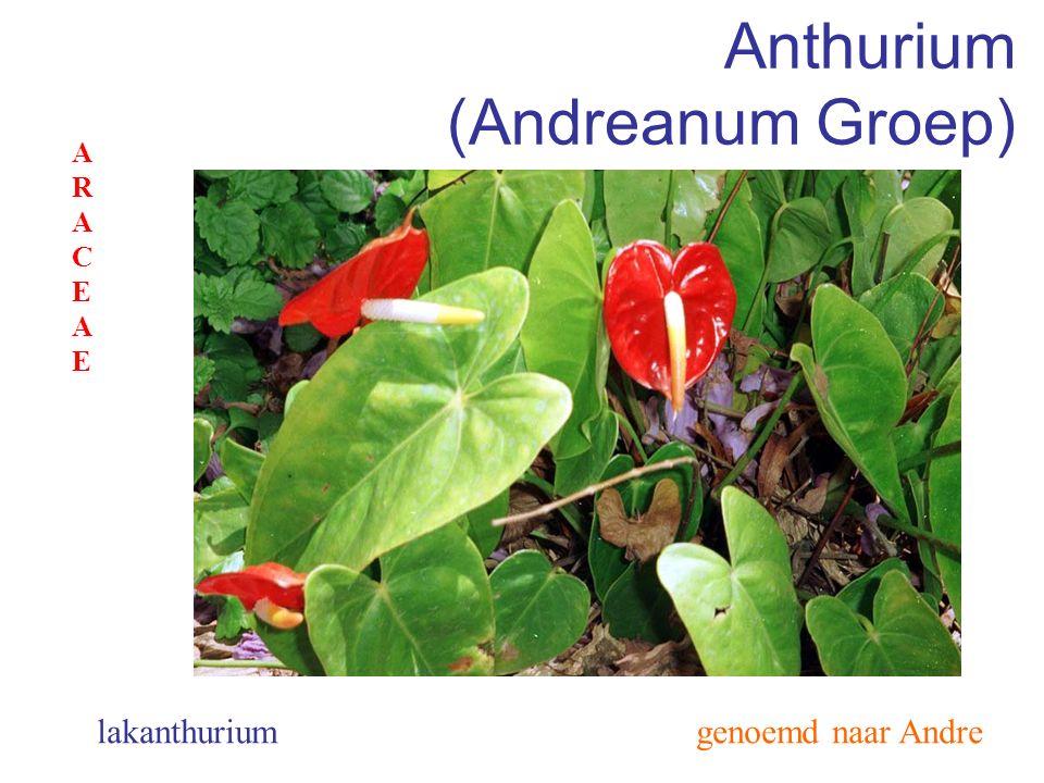 Anthurium (Scherzerianum Groep) genoemd naar Scherzer flamingoplant ARACEAEARACEAE