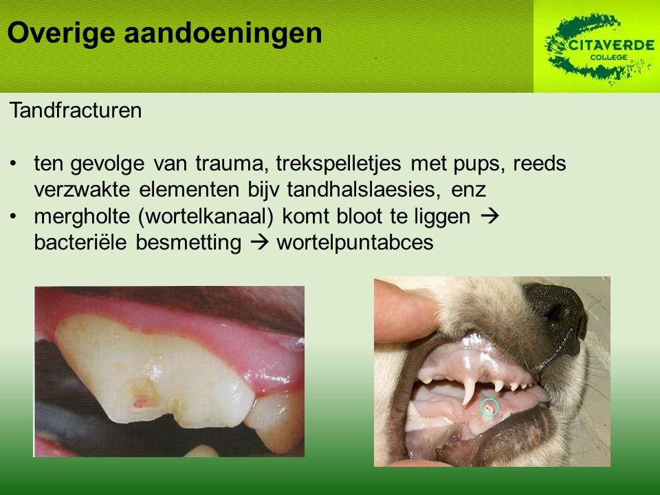Overige aandoeningen Tandfracturen ten gevolge van trauma, trekspelletjes met pups, reeds verzwakte elementen bijv tandhalslaesies, enz mergholte (wortelkanaal) komt bloot te liggen  bacteriële besmetting  wortelpuntabces