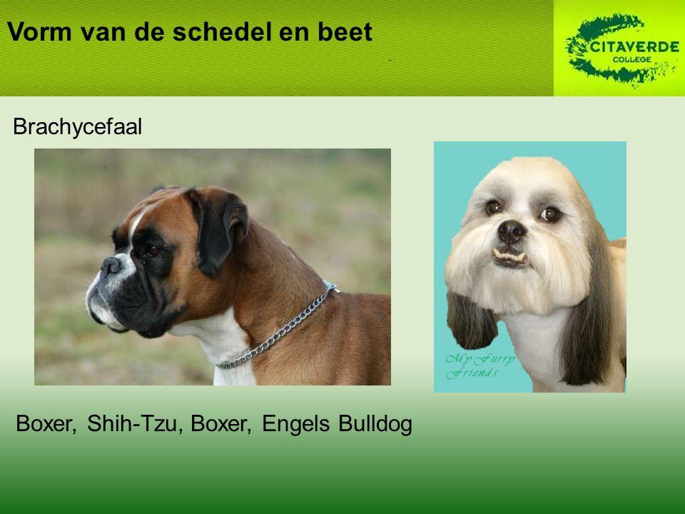 Brachycefaal Vorm van de schedel en beet Boxer, Shih-Tzu, Boxer, Engels Bulldog