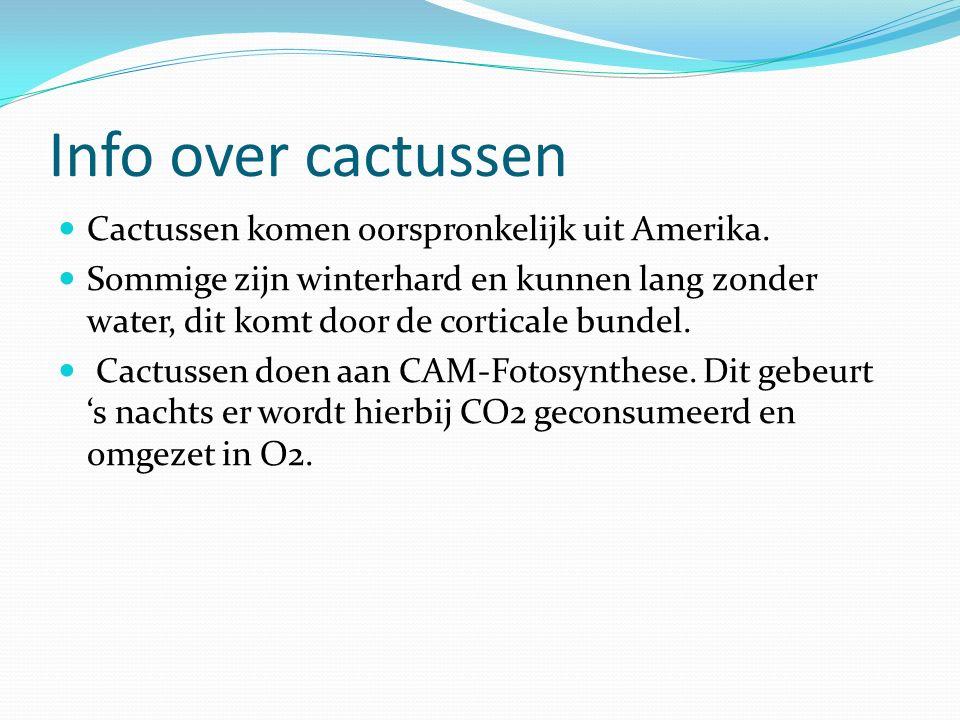 Info over cactussen Cactussen komen oorspronkelijk uit Amerika. Sommige zijn winterhard en kunnen lang zonder water, dit komt door de corticale bundel