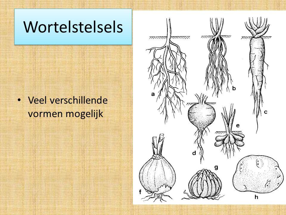 Wortelstelsels: Verschillende vormen:  Hoofdwortel + zijwortels  Penwortel= Extra dikke hoofdwortel met weinig zijwortels  Geen echte hoofdwortel: alle wortels zijn ongeveer even dik en lang