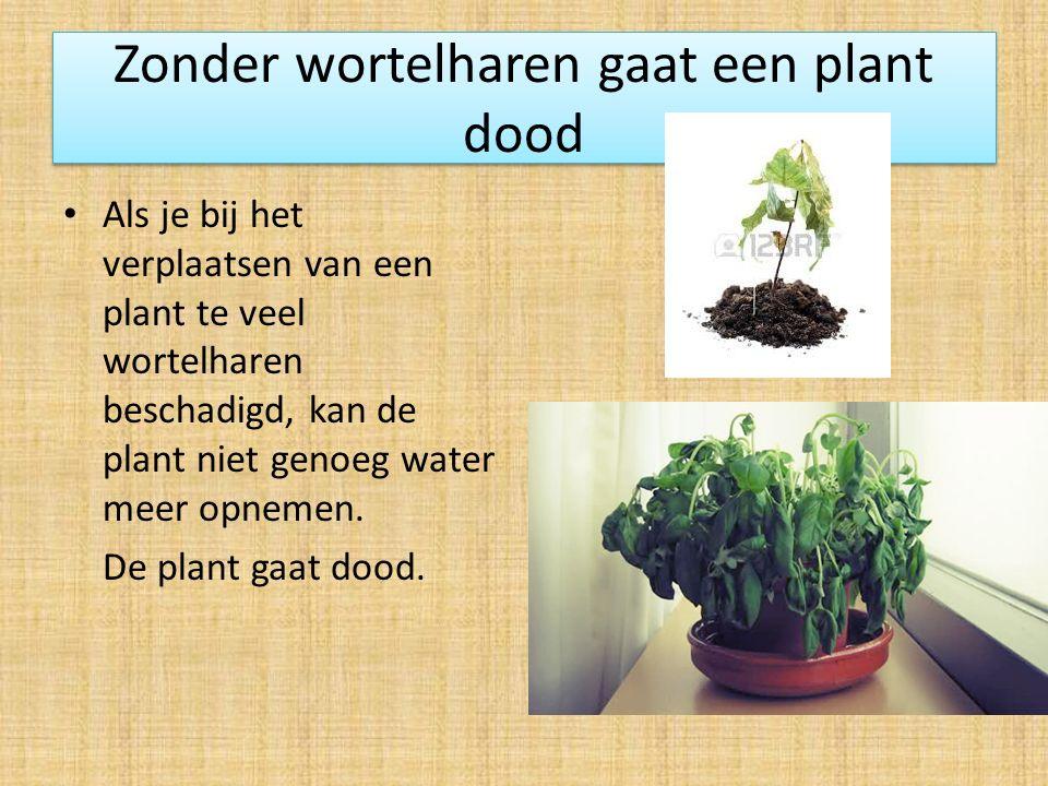 Zonder wortelharen gaat een plant dood Als je bij het verplaatsen van een plant te veel wortelharen beschadigd, kan de plant niet genoeg water meer opnemen.