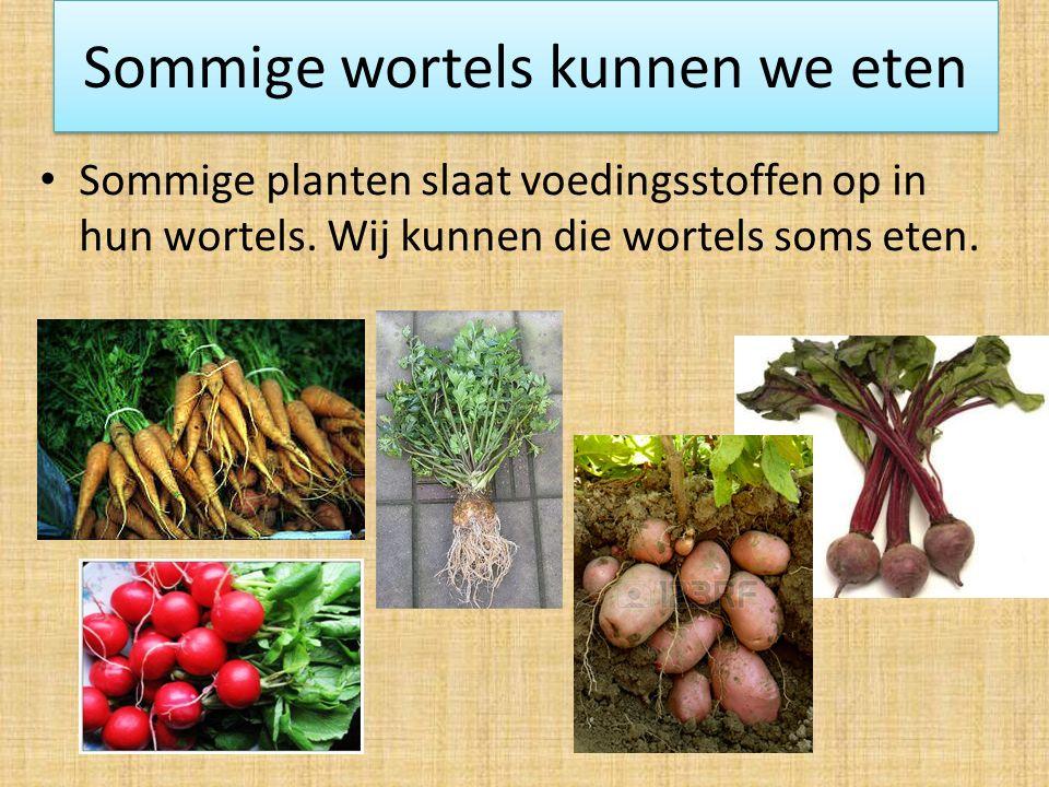 Sommige wortels kunnen we eten Sommige planten slaat voedingsstoffen op in hun wortels.