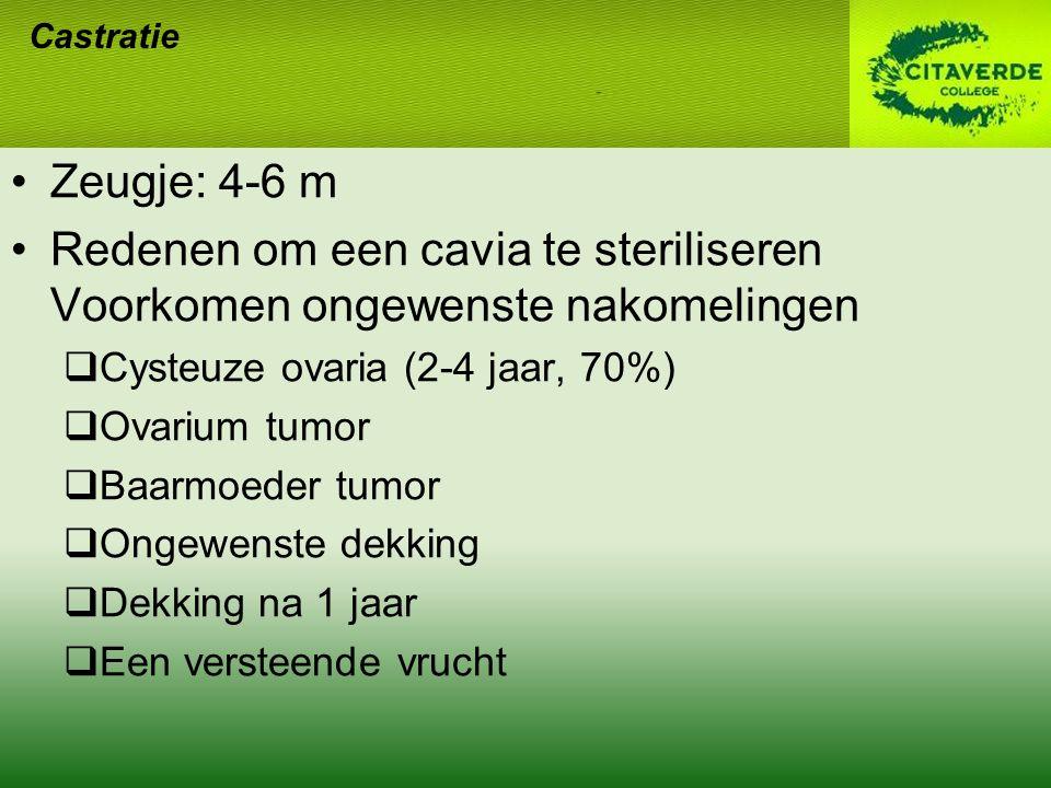 Zeugje: 4-6 m Redenen om een cavia te steriliseren Voorkomen ongewenste nakomelingen  Cysteuze ovaria (2-4 jaar, 70%)  Ovarium tumor  Baarmoeder tu