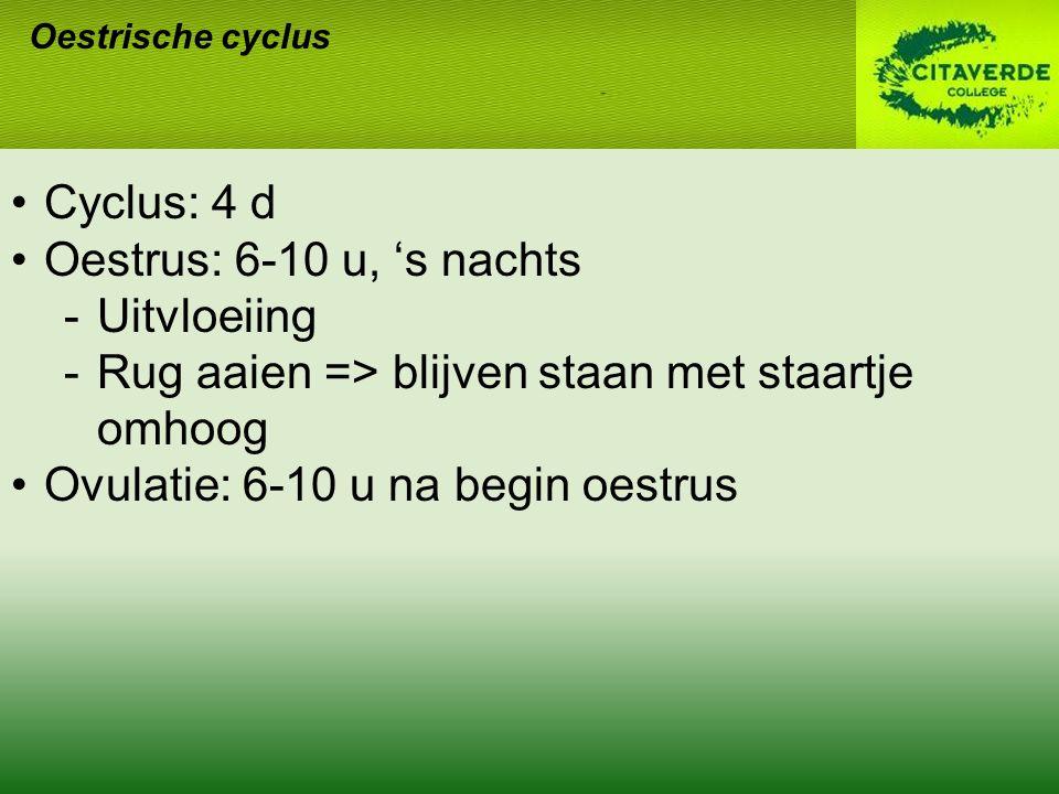 Oestrische cyclus Cyclus: 4 d Oestrus: 6-10 u, 's nachts -Uitvloeiing -Rug aaien => blijven staan met staartje omhoog Ovulatie: 6-10 u na begin oestru