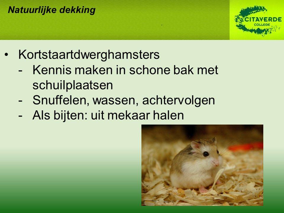 Natuurlijke dekking Kortstaartdwerghamsters -Kennis maken in schone bak met schuilplaatsen -Snuffelen, wassen, achtervolgen -Als bijten: uit mekaar ha