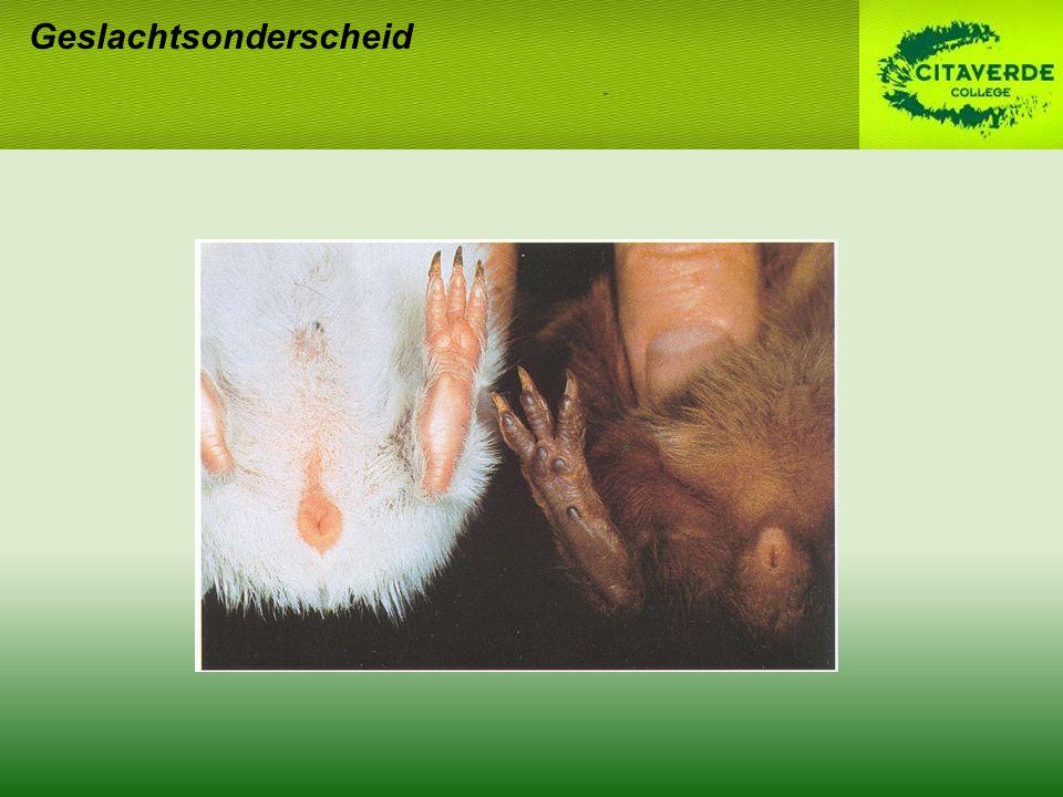 Geslachtsrijp – fokrijp –Beertje: 4 w – 3 m –Zeugje: 8-10 w – 5 m (± 750 gram) 1 e nestje niet te laat –Moeilijker drachtig –Problemen geboorte –Minder melk Tot 3 jaar fokken Oestrische cyclus cavia
