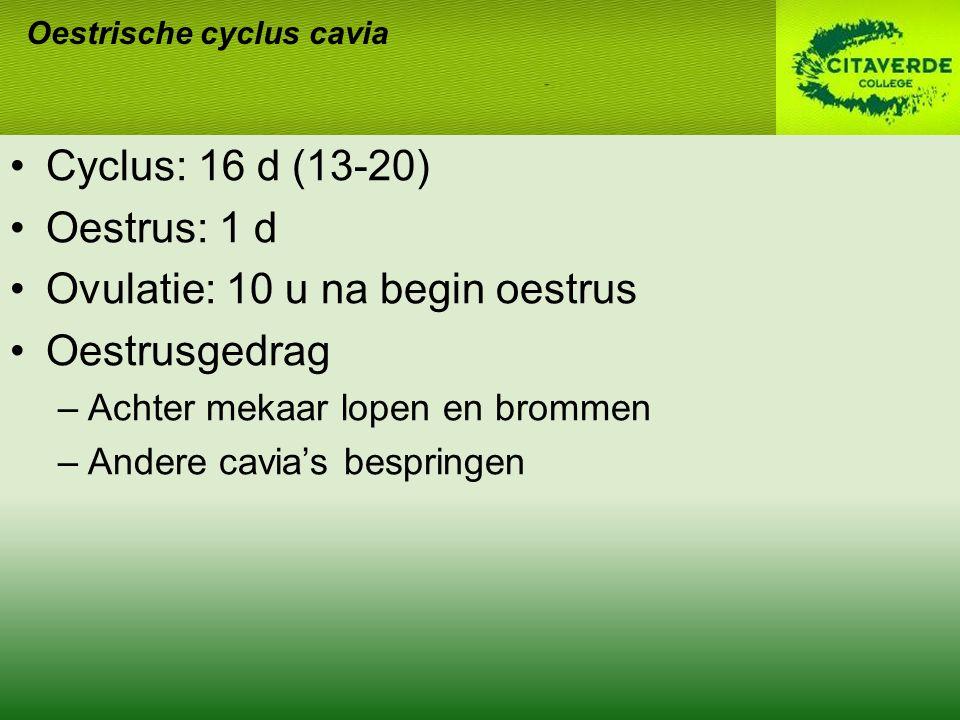 Cyclus: 16 d (13-20) Oestrus: 1 d Ovulatie: 10 u na begin oestrus Oestrusgedrag –Achter mekaar lopen en brommen –Andere cavia's bespringen Oestrische