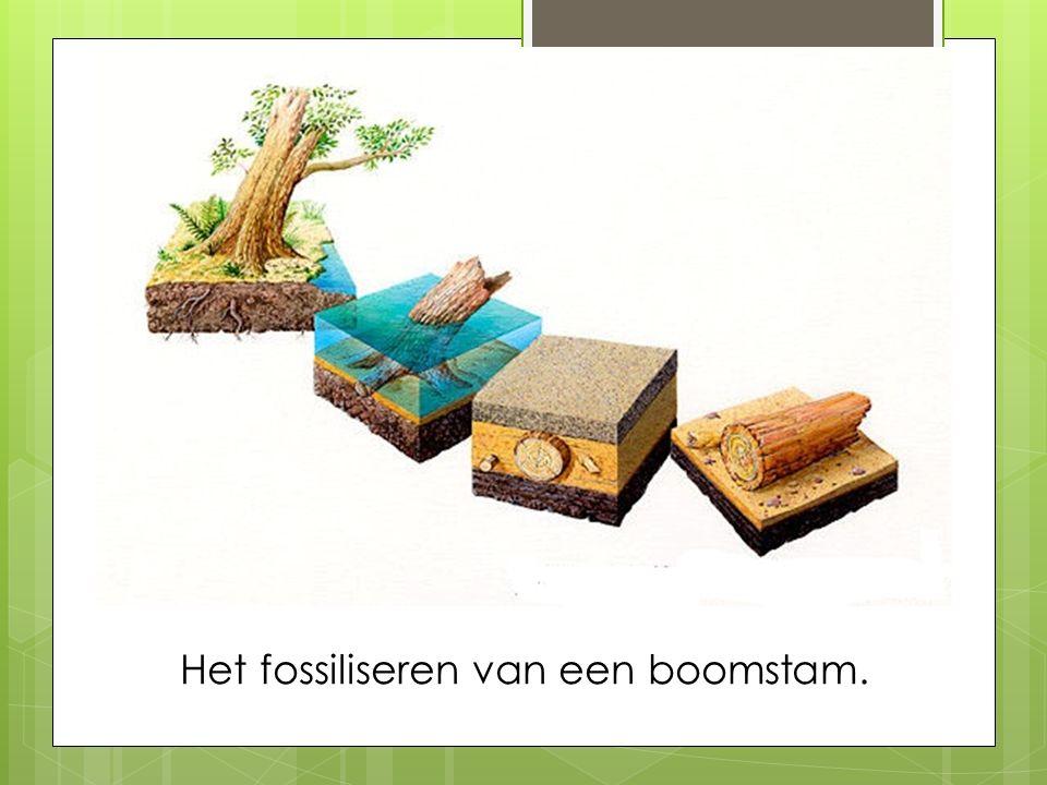 Het fossiliseren van een boomstam.