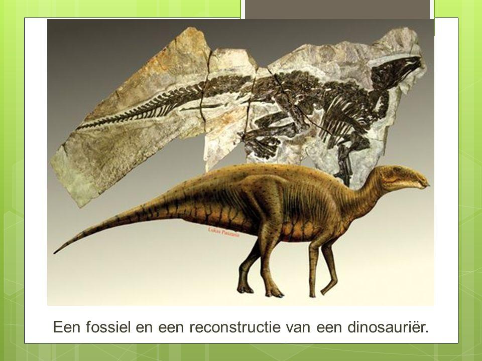 Een fossiel en een reconstructie van een dinosauriër.