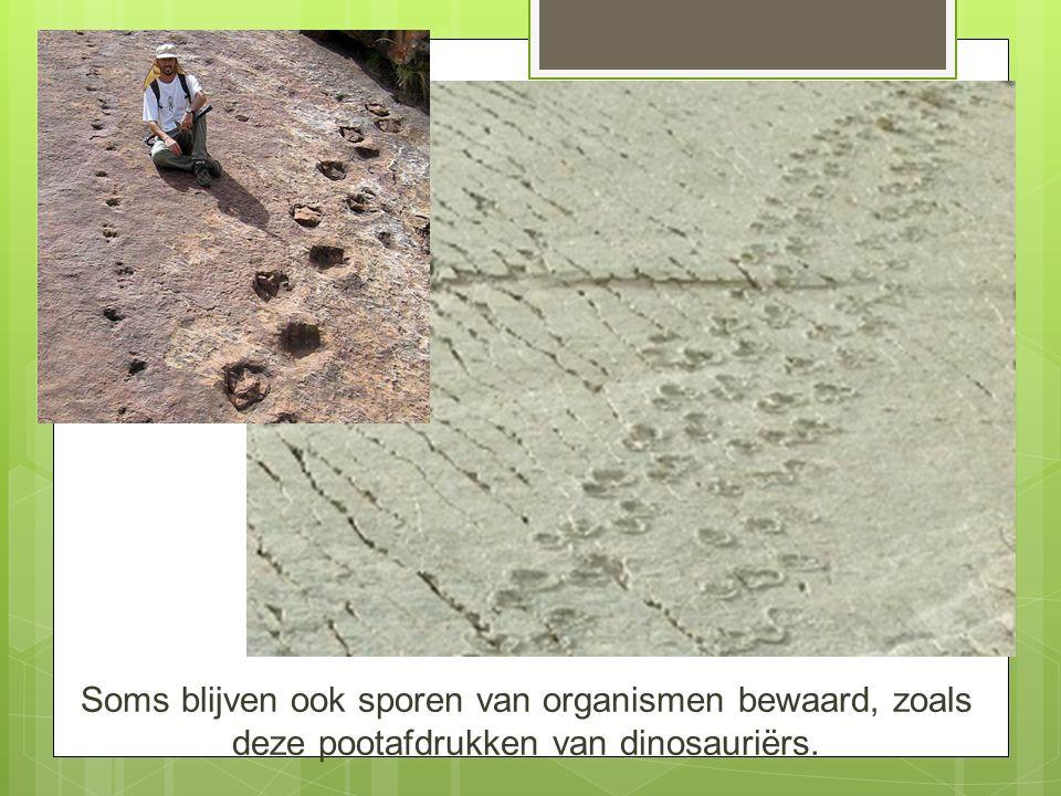 Soms blijven ook sporen van organismen bewaard, zoals deze pootafdrukken van dinosauriërs.