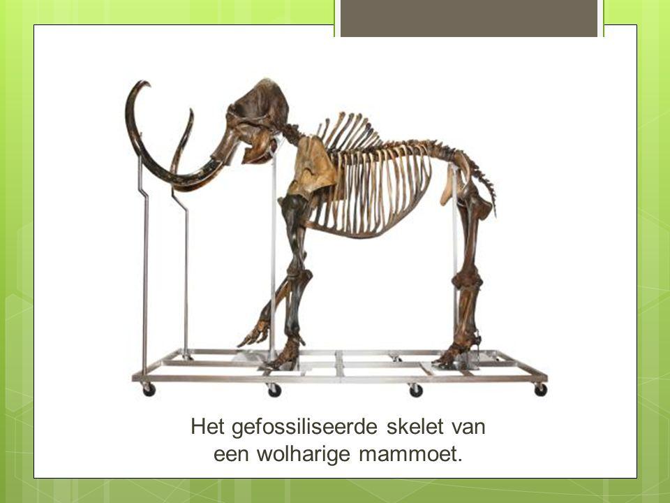 Het gefossiliseerde skelet van een wolharige mammoet.