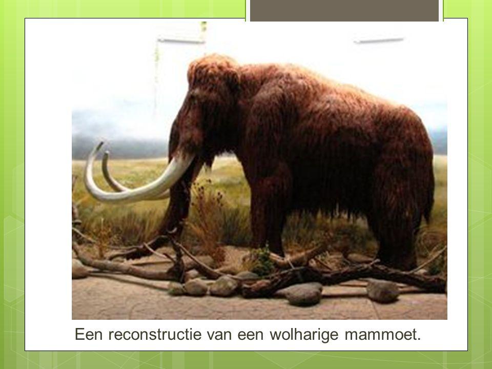 Een reconstructie van een wolharige mammoet.