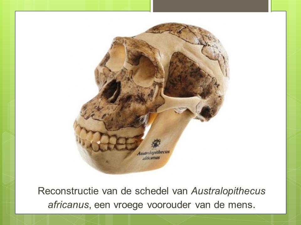 Reconstructie van de schedel van Australopithecus africanus, een vroege voorouder van de mens.