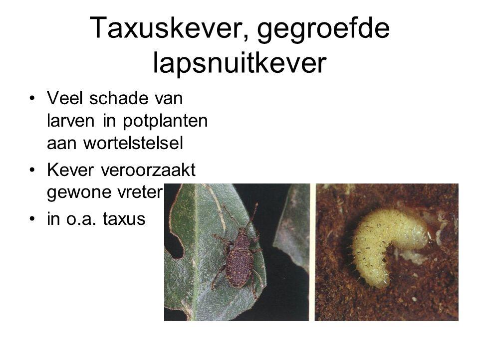 Taxuskever, gegroefde lapsnuitkever Veel schade van larven in potplanten aan wortelstelsel Kever veroorzaakt gewone vreterij in o.a. taxus